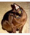 Burma-Katze - Burmese