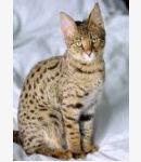 Savannah Savannahcat Katze