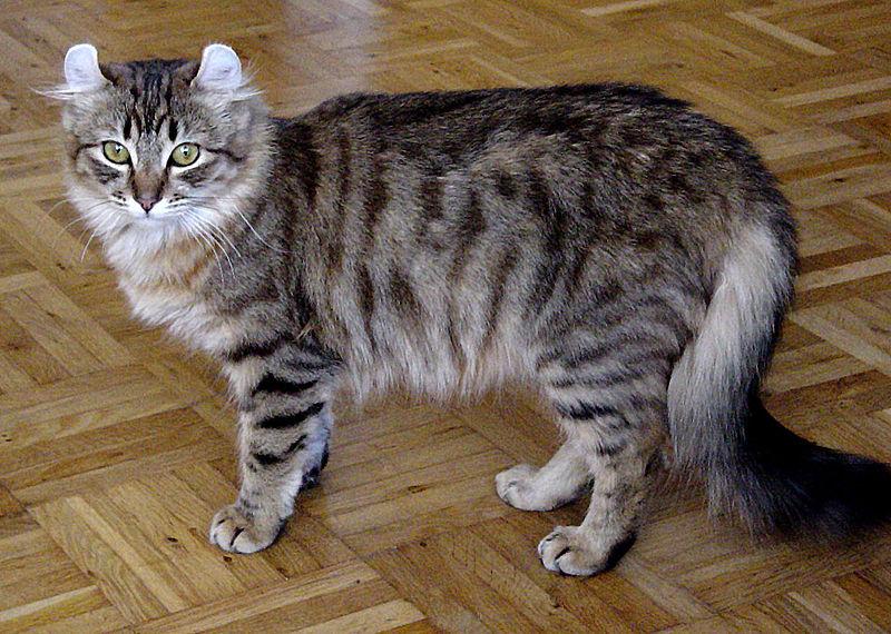American Curl Katze - Langhaar