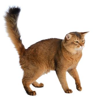 Somali - Somali Katze